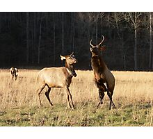 Elk In Cataloochee Photographic Print