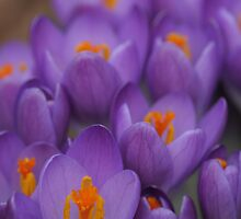 purple crocus by Christopher  Ewing