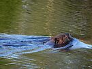 Canadian Beaver & Ripples by Martha Medford