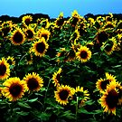 Simply Sunflowers by christiane