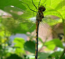 dragon fly 2 by kveta