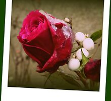 Christmas Rose by ElsT