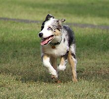 Australian Shepherd Puppy by Jim Caldwell