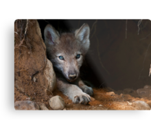 Timber Wolf Pup in Den Metal Print