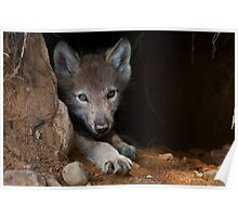 Timber Wolf Pup in Den Poster