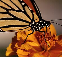 Madam Butterfly by chamma