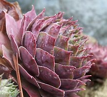 Succulents by tserio