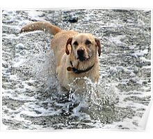 Labs Love Water............ Poster