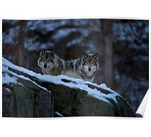 Timber Wolves In Late Evening. Poster