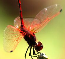Dragonfly by Johann Hurter