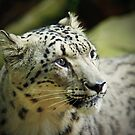 Snow Leopard by David Smith