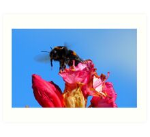 Taking off! - Bumblebee - Rhododendron - NZ Art Print