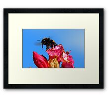 Taking off! - Bumblebee - Rhododendron - NZ Framed Print