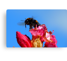 Taking off! - Bumblebee - Rhododendron - NZ Canvas Print