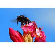 Taking off! - Bumblebee - Rhododendron - NZ Photographic Print