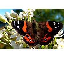 Natures Markings - Red Admiral Butterfly - NZ Photographic Print