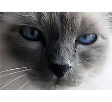 The blue eyed cat Photographic Print