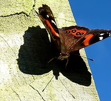 My Shadow! - Red Admiral Butterfly - NZ by AndreaEL