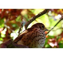Maple Tree Dweller! - Baby Song Thursh! - NZ - Southland Photographic Print