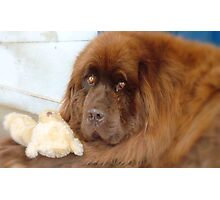 My Teddy is sleeping! - Newfoundland - NZ Photographic Print