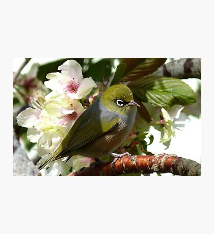 I'm waiting for my bride! - Silvereye - NZ Photographic Print
