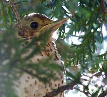 You cant see me! - Baby Song Thrush - NZ by AndreaEL