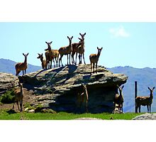 The Vantage Point! - Deer - NZ Photographic Print