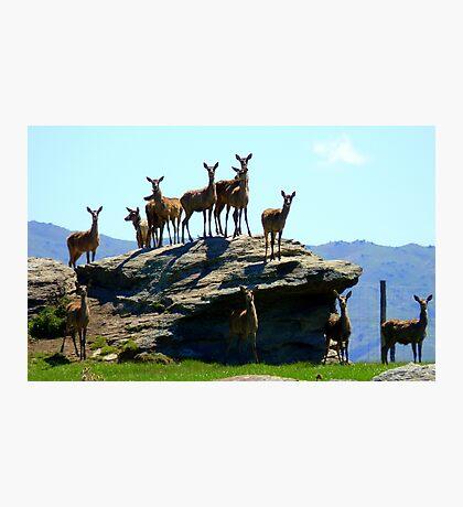 The Vantage Point! - Deer - NZ Photographic Print