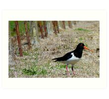 Come this way Please! - Pied Oyster Catcher - NZ Art Print