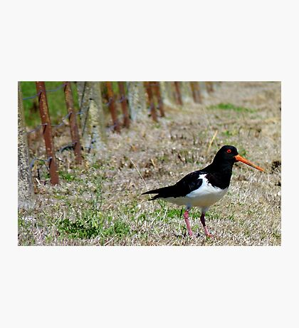 Come this way Please! - Pied Oyster Catcher - NZ Photographic Print