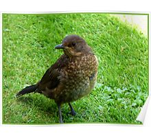 Are you going to feed me! - Baby Blackbird - NZ Poster