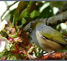 I think my Bride May Be On Her Way! - October - Silvereye - NZ ** by AndreaEL