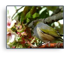 I think my Bride May Be On Her Way! - October - Silvereye - NZ ** Canvas Print