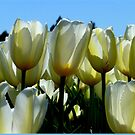 Reaching For The Blue Sky! - White Tulips - NZ by AndreaEL