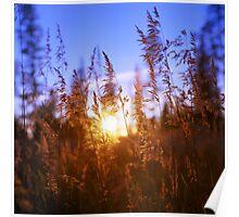Sunset Grasses Poster