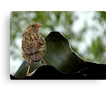 I'm  Out The Nest, Where Is Everyone! - Baby Dunnock Hedge Sparrow Canvas Print