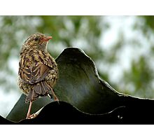 I'm  Out The Nest, Where Is Everyone! - Baby Dunnock Hedge Sparrow Photographic Print
