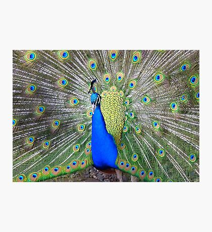 Am I Impressing YOU Yet! - Peacock - NZ Photographic Print