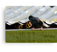 Open Wide,  Lunch is Served! - Starlings - NZ Canvas Print