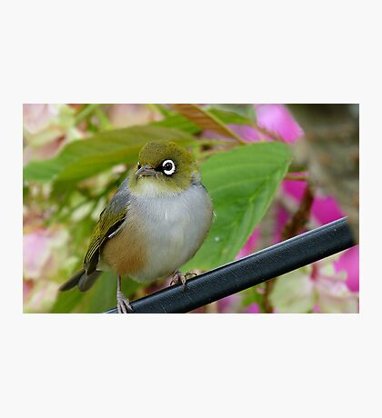 Perfection - Harmony With Nature - Silver-eye - NZ Photographic Print