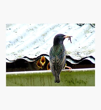 I Can't Remember Who Next! - Starling - NZ Photographic Print
