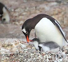 Gentoo Penguin Feeding Chick by Carole-Anne
