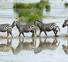 Zebras Stepping Out by Carole-Anne