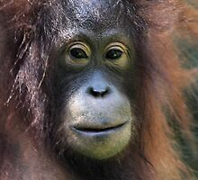 Portrait: Female Orangutan by Carole-Anne