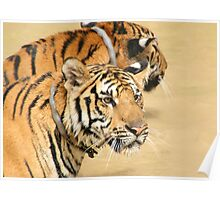 Two Tigers During Water Play  Poster