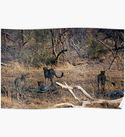 4 Cheetahs together  --  a rare sight  -- Poster