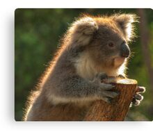 Young Koala Canvas Print