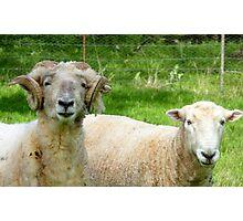 Has Anyone Seen My Friends Head Gear! - Merino Sheep - NZ Photographic Print