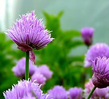 Chive Flower! - Chive - NZ by AndreaEL