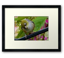 That's Extraordinary! - Silvereye - NZ Framed Print